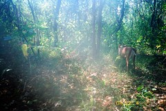 Barking Deer sp.