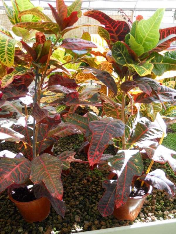 Codiaeum variegatum 'Excellent' v 1