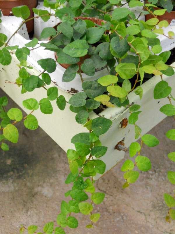Ficus pumila v 1