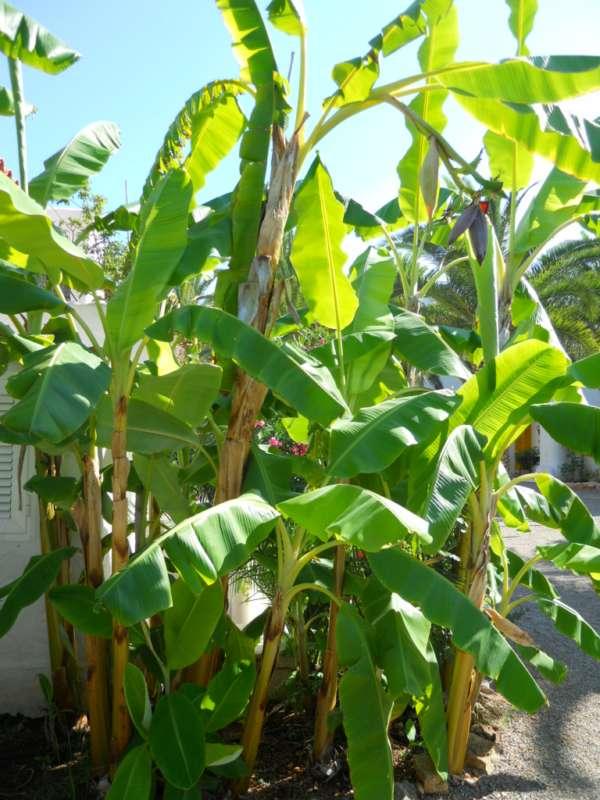 Jardineros en acci n musa ensete for Planta decorativa toxica