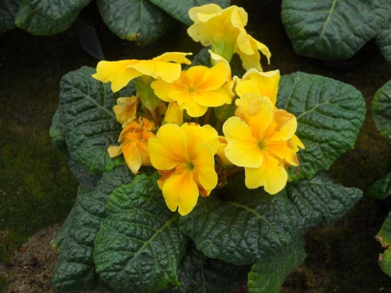 Primula x polyanthus 2