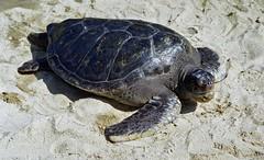 box turtle(0.0), marine biology(0.0), common snapping turtle(0.0), leatherback turtle(0.0), emydidae(0.0), tortoise(0.0), animal(1.0), turtle(1.0), reptile(1.0), loggerhead(1.0), fauna(1.0), wildlife(1.0), sea turtle(1.0),