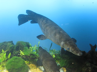 Alligator gar fish (Atractosteus spatula), Toba aquarium