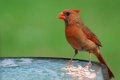 robin(0.0), house finch(0.0), emberizidae(0.0), animal(1.0), perching bird(1.0), fauna(1.0), finch(1.0), cardinal(1.0), old world flycatcher(1.0), beak(1.0), bird(1.0), wildlife(1.0),
