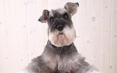 dog breed, animal, dog, pet, standard schnauzer, vulnerable native breeds, schnauzer, cesky terrier, miniature schnauzer, carnivoran, terrier,