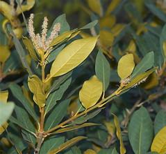 produce(0.0), fruit(0.0), food(0.0), evergreen(1.0), shrub(1.0), flower(1.0), branch(1.0), leaf(1.0), yellow(1.0), plant(1.0), flora(1.0), bay laurel(1.0),
