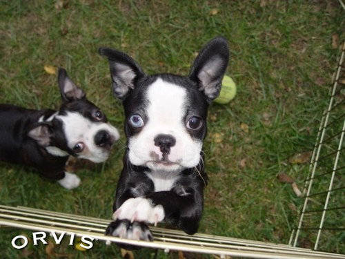 Orvis Cover Dog Contest - Baby Roo