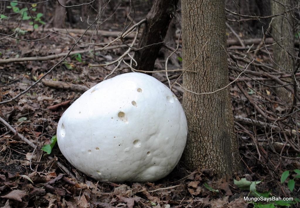 Giant Puffball (Calvatia gigantea) Mushroom
