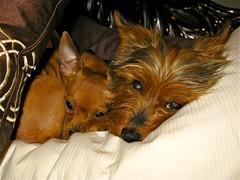 dog breed, animal, puppy, dog, pet, russkiy toy, australian terrier, carnivoran, terrier,