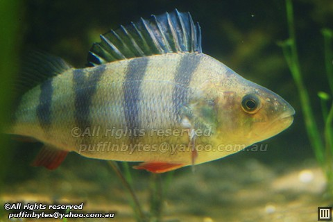 European Perch - Perca fluviatilis Flickr - Photo Sharing!