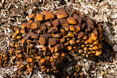 Cluster of brickcap mushrooms