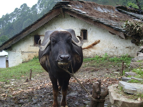 Buffalo in a village homestead in the Himalayan foothills of northern India