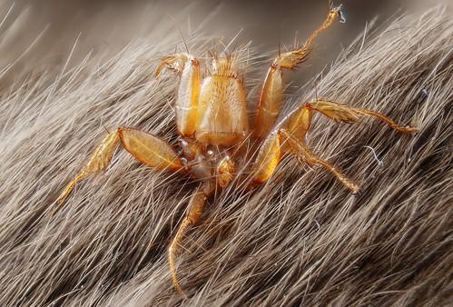 bat fly (Diptera: Nycteribiidae)
