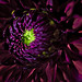 Small photo of Red Dhalia