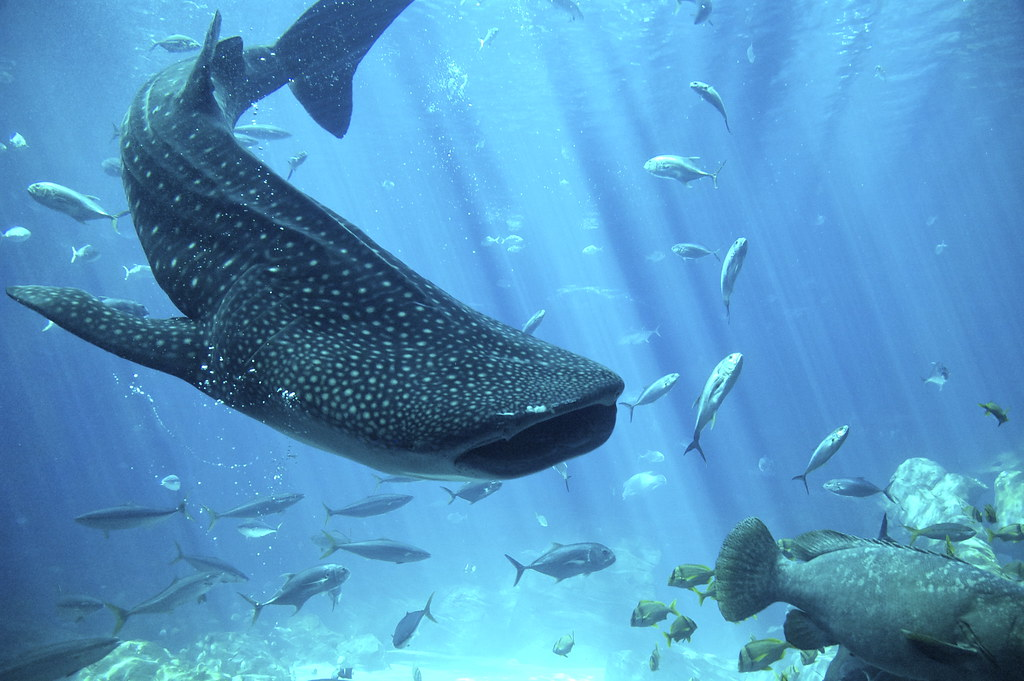 Whale shark the worlds biggest fish for The biggest fish