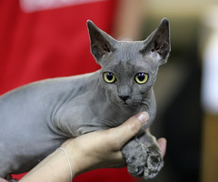 chartreux(0.0), egyptian mau(0.0), korat(0.0), burmese(0.0), russian blue(0.0), domestic short-haired cat(0.0), animal(1.0), sphynx(1.0), peterbald(1.0), small to medium-sized cats(1.0), pet(1.0), mammal(1.0), donskoy(1.0), cat(1.0), whiskers(1.0), devon rex(1.0), hairless cat(1.0),