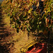 Grape Harvest Time in Maremma, Italy