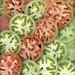 35150 Solanum lycopersicum