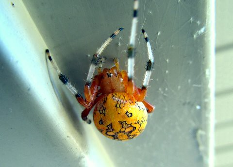 Yellow Orb Spider Flickr Photo Sharing