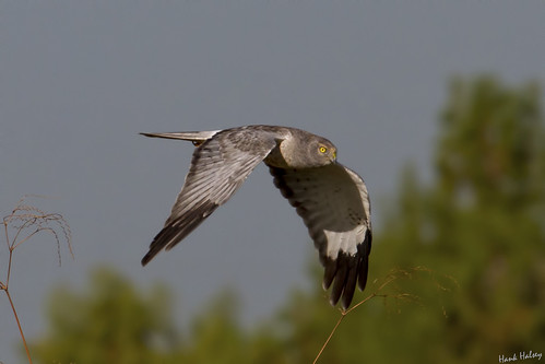 outdoors florida boyntonbeach grayghost greencay nothernharrier malenorthernharrier img9458cr2