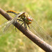 Dragonfly Vagrant Darter (Female) - Sympetrum vulgatum