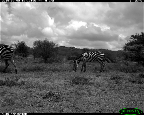 burchellszebra equusburchellii mpala taxonomy:common=burchellszebra siwild:study=mpala siwild:studyId=mpalasets siwild:plot=oljogi geo:locality=kenya siwild:trigger=oljogiseq1112 siwild:date=201003091215000 file:name=img0152jpg file:path=dpt36pt36cam14disc32bimg0152jpg sequence:id=oljogiseq1112 sequence:length=39 siwild:imageid=kenyapic5774 sequence:index=38 otherhoovedmammals taxonomy:group=otherhoovedmammals taxonomy:species=equusburchellii siwild:location=mpala238 siwild:camDeploy=mpaladeploy687 siwild:species=165 geo:lon=0348127 geo:lat=37046007 siwild:region=kenya BR:batch=sla0620101118055537 sequence:key=19