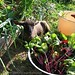 Harvesting Young Beet Greens with Baby Cary