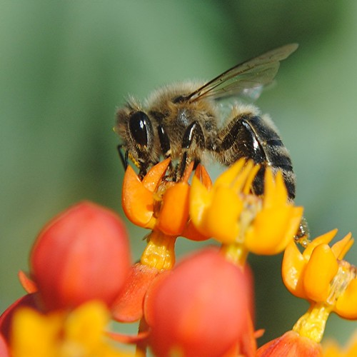 Shiny bee busy pollinating orange and gold Milkweed