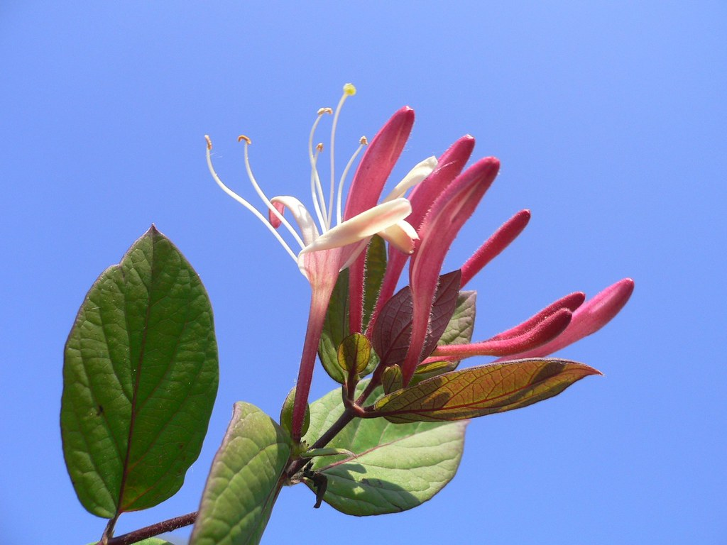 List of fragrant flowers list of blue flower prints caprifoglio climbing shrub izmirmasajfo Gallery
