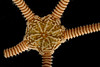 Brittle star central disk top surface