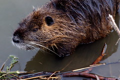 animal, rodent, fauna, muskrat, whiskers, beaver, wildlife,