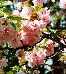 Prunus serrulata by giardinaggionet