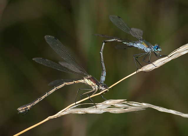 scarce emeralds mating pair