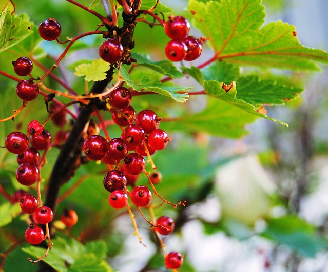 Currant berries | Flickr - Photo Sharing!