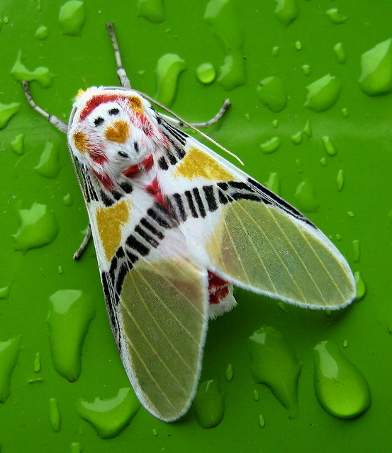 Polilla coloreada / Colorful moth (Idalus herois)