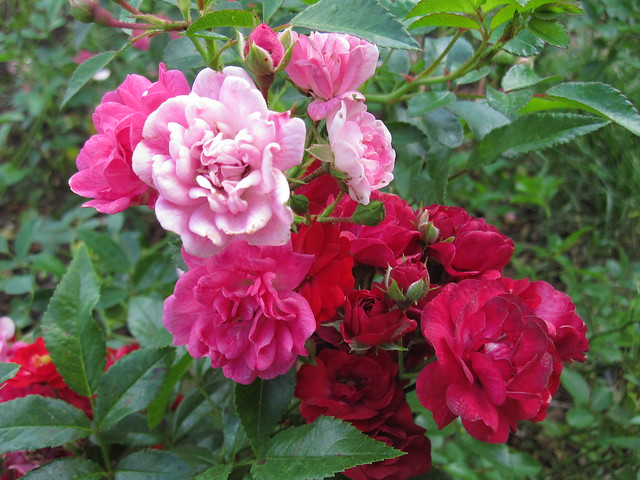 Rosa 'Lovely Fairy'. Ployantha, introduced 1990