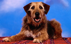 norfolk terrier(0.0), australian terrier(0.0), dog breed(1.0), animal(1.0), dog(1.0), pet(1.0), mammal(1.0), irish terrier(1.0), terrier(1.0), airedale terrier(1.0),