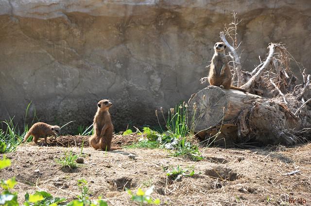 CANI DELLA PRATERIA -Parco Natura Viva di Pastrengo (VR)