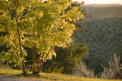 Salvadonica tree
