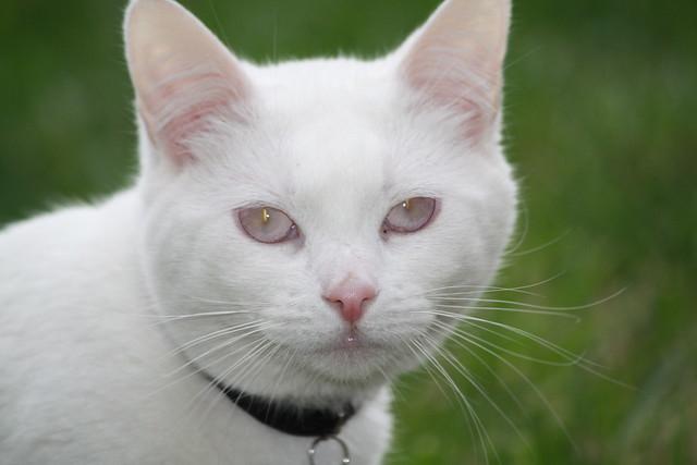 Stoli--Albino Cat | Flickr - Photo Sharing!