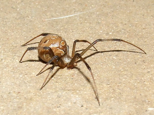 Theridiidae>Latrodectus geometricus? Female Brown widow ...