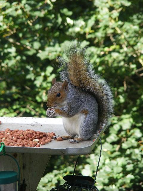 Hawes  squirrel