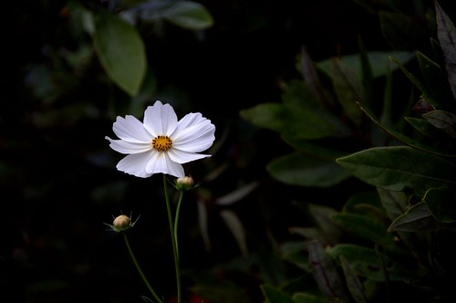 white cosmos at dusk