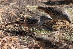 animal, fauna, beak, bird, lark, wildlife,