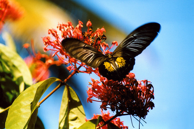 A butterfly in Indonesia.