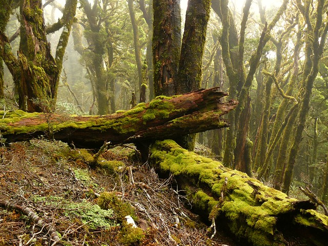Cloud Forest - Paparoa Range, West Coast NZ