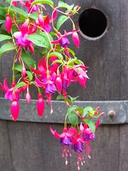 flower, purple, plant, flora, fuchsia, pink, petal,
