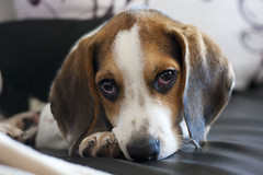puppy(0.0), basset artã©sien normand(0.0), dog breed(1.0), animal(1.0), hound(1.0), harrier(1.0), dog(1.0), treeing walker coonhound(1.0), english foxhound(1.0), american foxhound(1.0), pet(1.0), pocket beagle(1.0), estonian hound(1.0), close-up(1.0), carnivoran(1.0), beagle(1.0),
