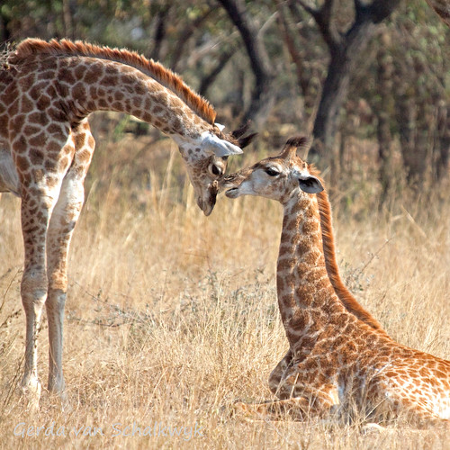 wildlife giraffe giraffacamelopardalis supershot sabiepark specanimal