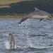 BND Bottlenose dolphin (Tursiops truncatus) 05 Aug-10-40152 by tim stenton www.TimtheWhale.com